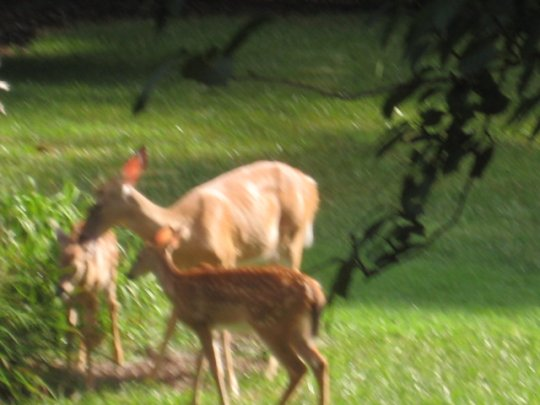 Deer in Dan and Lindsey's yard (8/20/10)